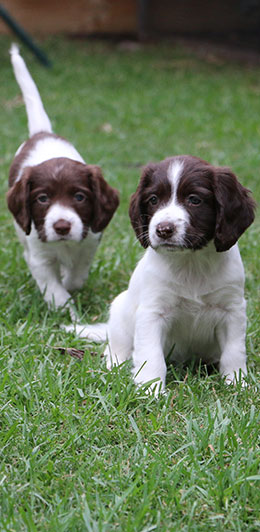 Canicula Spaniels | Specialst working dogs for detection and